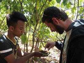 Fourmi rouge - Laos