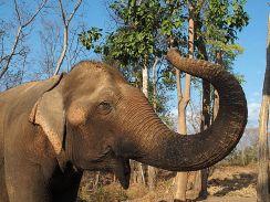 Elephant - Laos