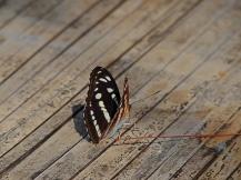 Papillon - Birmanie