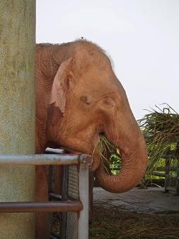 "Elephant rose ""albinos"" - Birmanie"