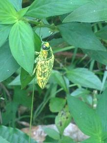 Punaise ou scarabée exotique
