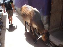 Vache - India