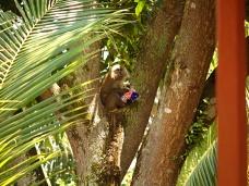 Macaque voleur