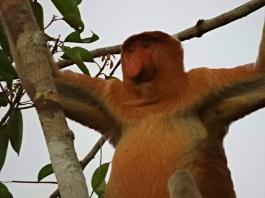Un singe qui a du nez