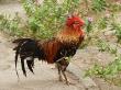 Coq - Indonésie