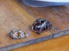 Coquillage le plus dangereux au monde - Gili Air