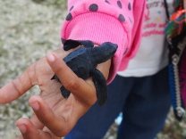 Sauvetage Tortue - Lombok