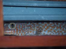 Tokeyyyyy Gecko - Indonésie
