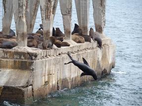 Lions de mer et phoques à fourrure - Valparaiso