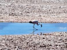 Laguna Chaxa et ses flamants roses - Calama