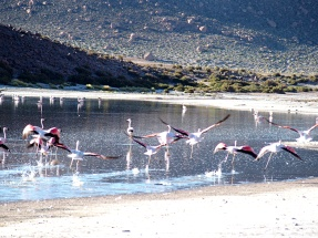 Envolée de Flamants roses - Calama