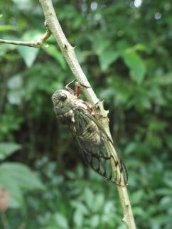 Cigale - Chutes d'Iguazu