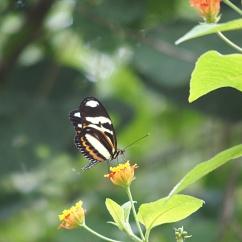 Papillon - Chutes d'Iguazu