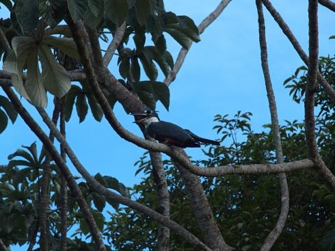 Martin pêcheur - Parc Pantanal