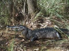 Caiman - Parc Pantanal